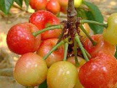 雷尼樱桃苗作为黄果口感