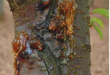 大樱桃树病害