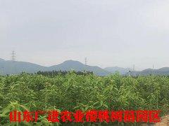 新濠天diwangtouwang址农业樱桃树苗基dishi