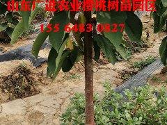 泰安3公分樱桃树苗chu售